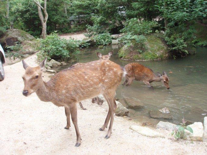 鯉のえさを横取りする宮島の鹿