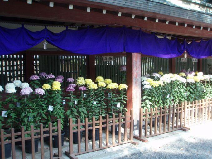 大国魂神社秋の菊花展