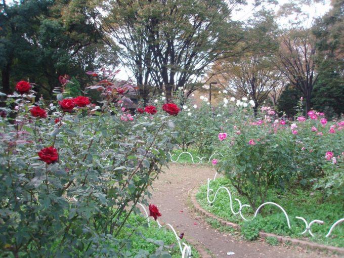 秋の代々木公園バラ園