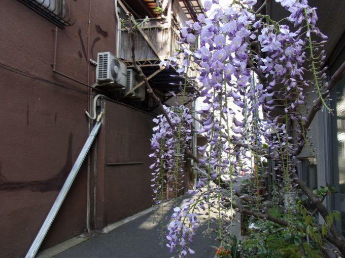 下町の路地に咲く藤の花