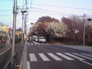 五日市街道山桜