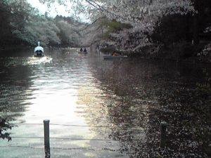 井の頭池桜とスワンボート