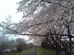 多摩サイ昭島桜