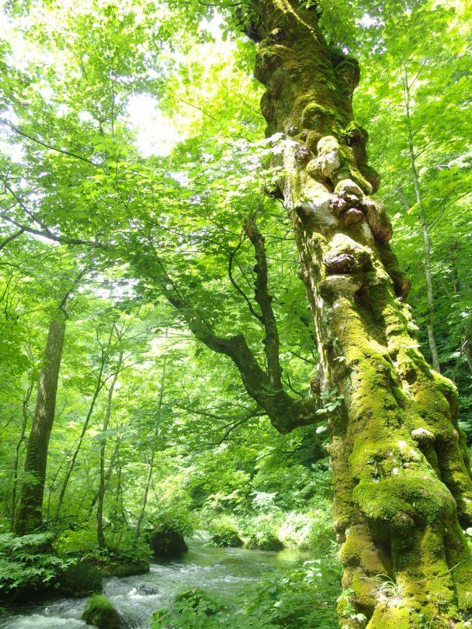 夏の奥入瀬渓流幹に苔むす木