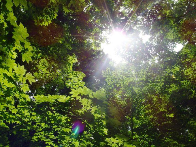 夏の奥入瀬渓流紅葉の葉を透かす太陽