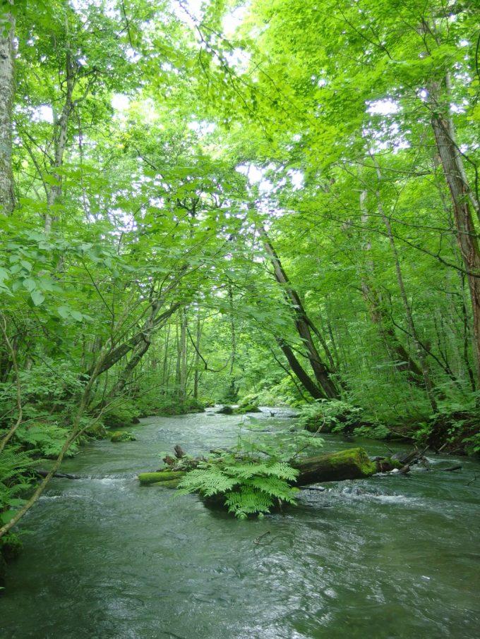 木のトンネル奥入瀬渓流