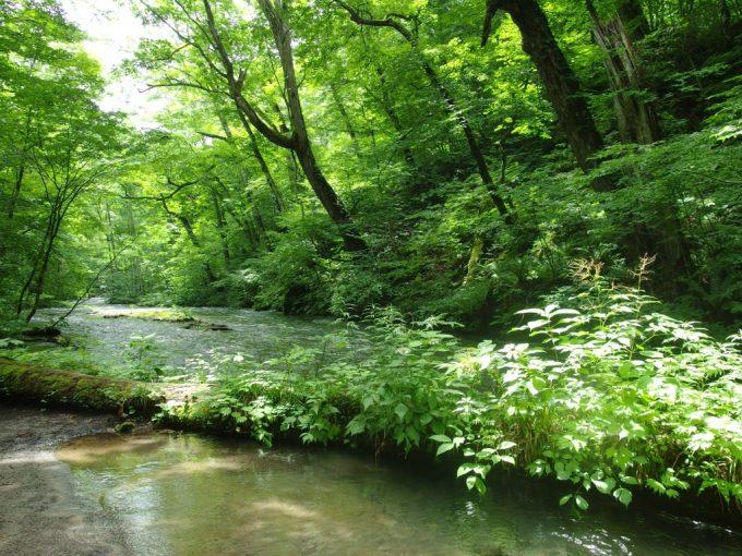 奥入瀬渓流朽ちた木を照らすスポットライト