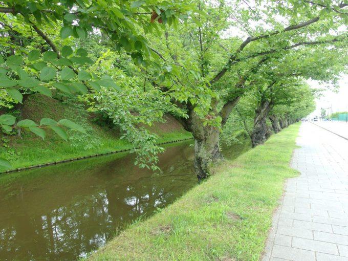 夏の弘前城桜並木の緑