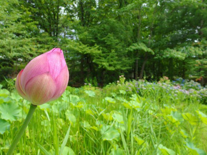 弘前城植物園つぼみの蓮の花