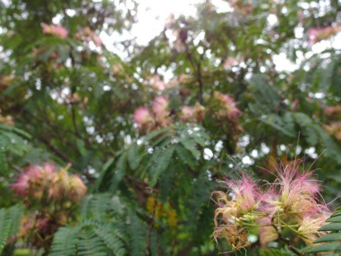 弘前城植物園合歓の木の花