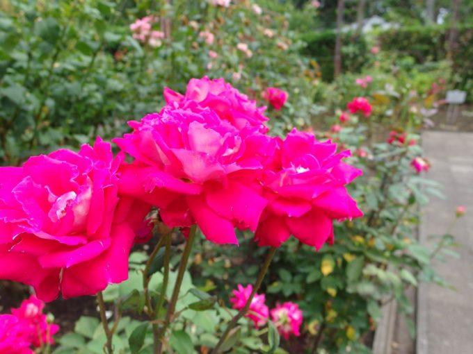 弘前城植物園鮮やかなピンクのバラ