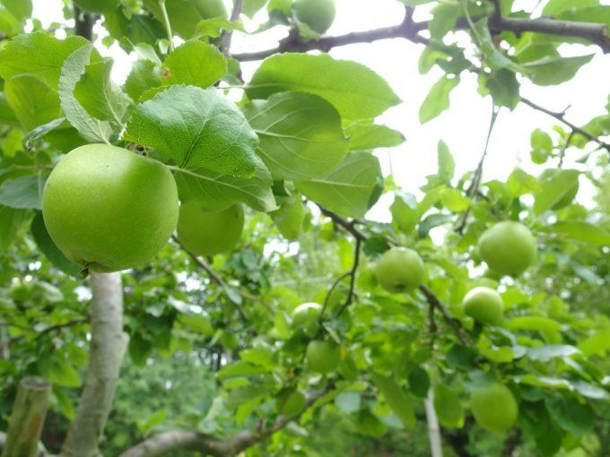 弘前城植物園りんご
