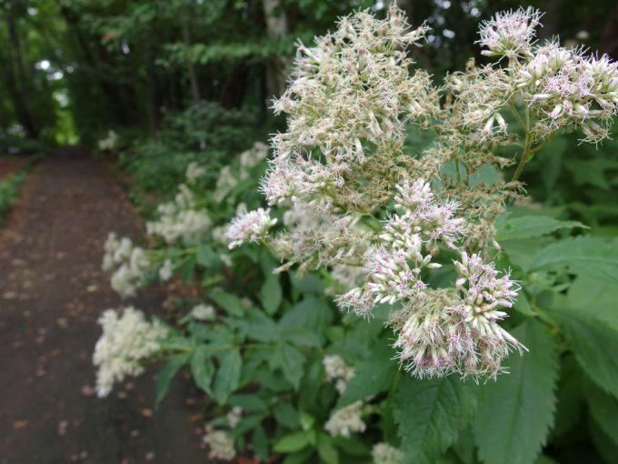 弘前城植物園白いふわふわの花