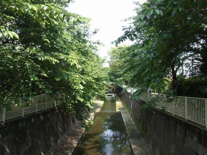神田川高井戸付近初夏の桜並木