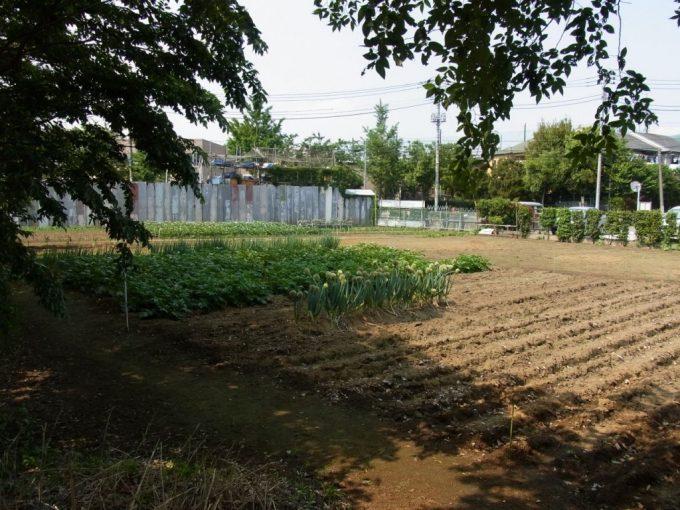 神田川横の畑に咲く葱坊主