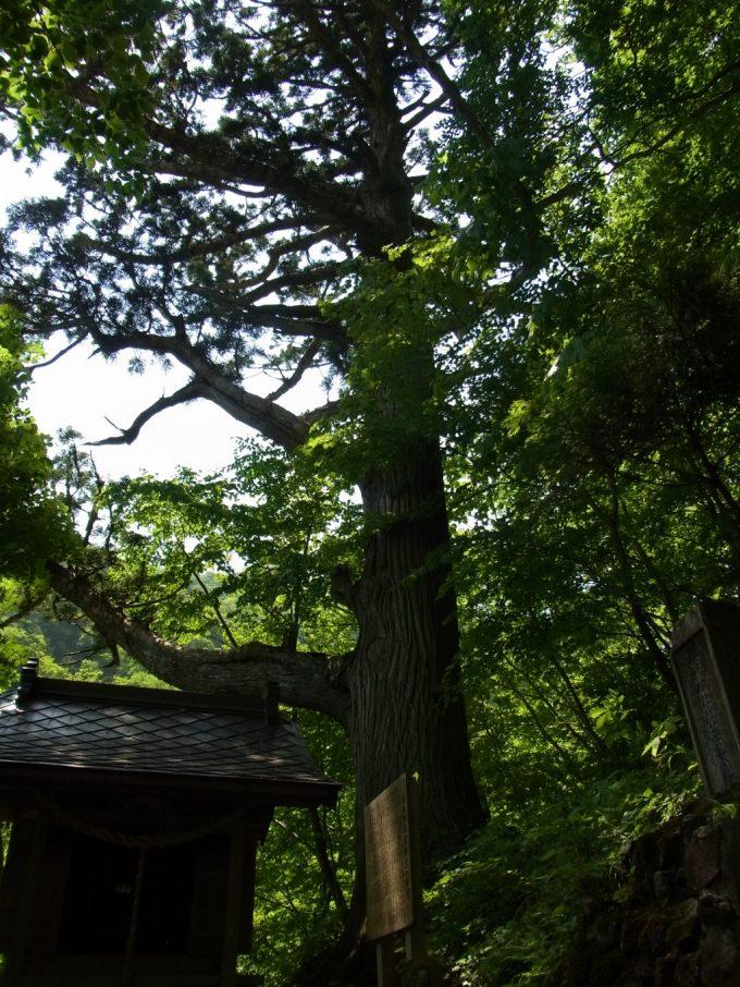 夏油温泉樹齢850年見印の杉