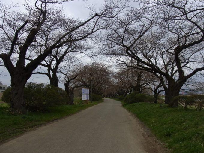 北上展勝地桜はまだ堅いつぼみ