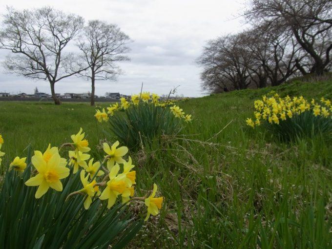 春まだ浅い北上展勝地足元に咲く水仙