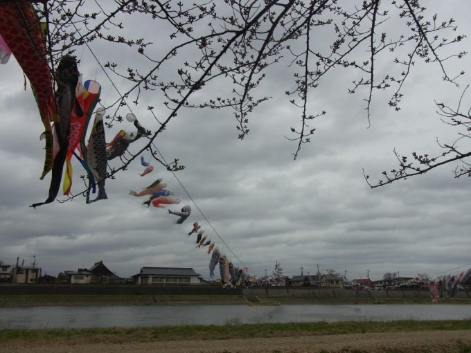北上展勝地つぼみの桜と鯉のぼり