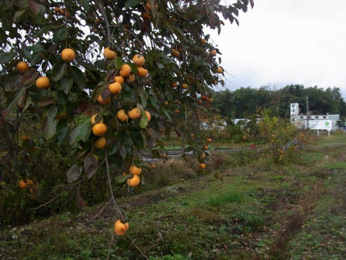 会津喜多方の秋を彩る柿