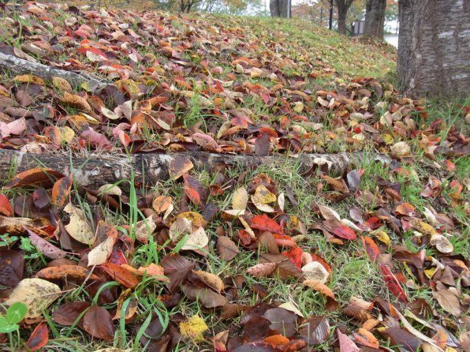 道の駅喜多の郷土手を彩る桜紅葉の落葉