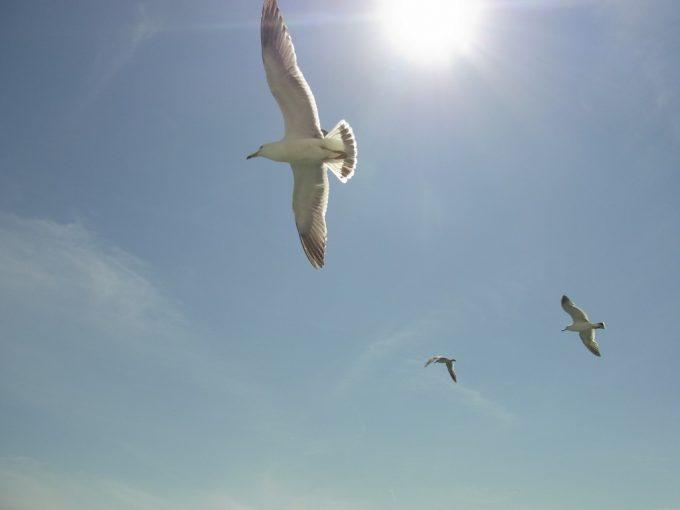 梅雨晴れの太陽を浴びて飛ぶカモメ