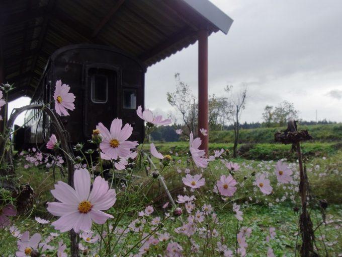 日中線記念館旧熱塩駅ぶどう色の旧客を彩るコスモス