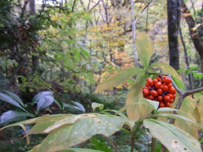 秋の白神山地赤い実