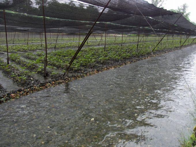 大王わさび農場を流れるきれいな湧き水