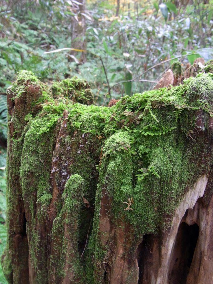 世界遺産白神山地朽ちた木に芽生える新しい命