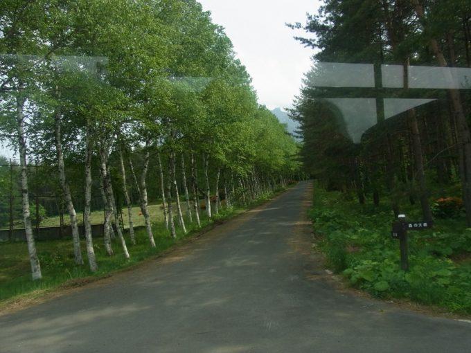 八幡平の高原白樺並木