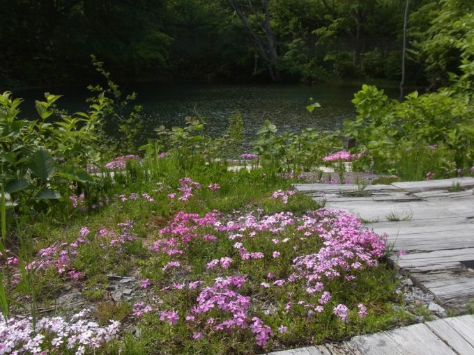 岩手八幡平松川温泉松楓荘に咲く芝桜