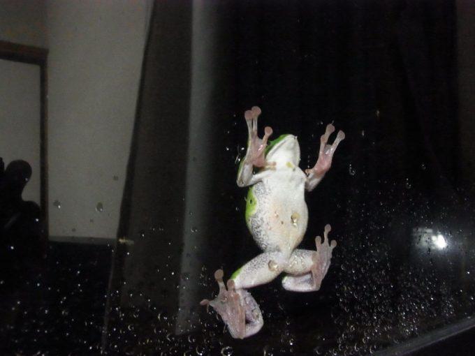 八幡平松川温泉の夜に現れた緑色のカエル