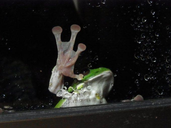 八幡平松川温泉のかわいい顔をした蛙