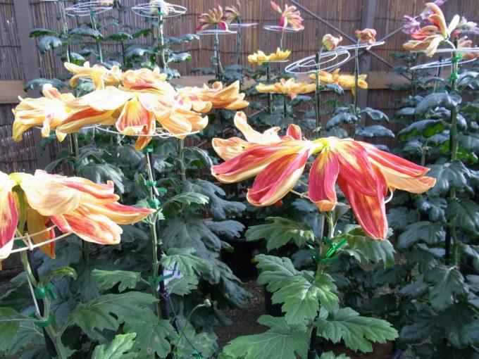秋の二本松霞ヶ城跡菊まつり見たことのない美しい菊