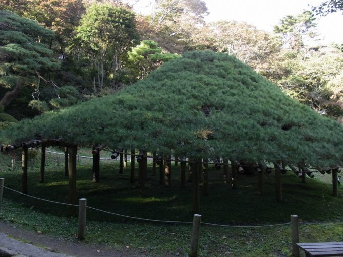 二本松霞ヶ城跡立派な笠松