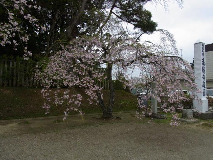 春の平泉毛越寺満開の枝垂れ桜