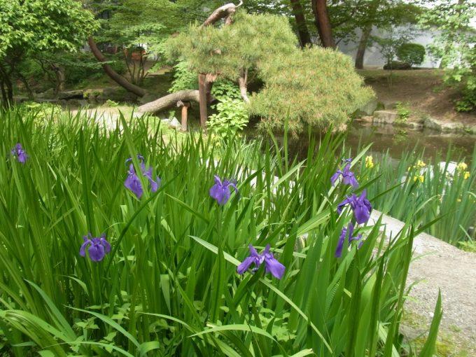 初夏の岩手公園花菖蒲