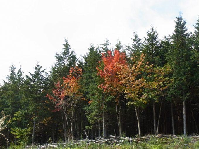 針葉樹の緑の中に映える紅葉