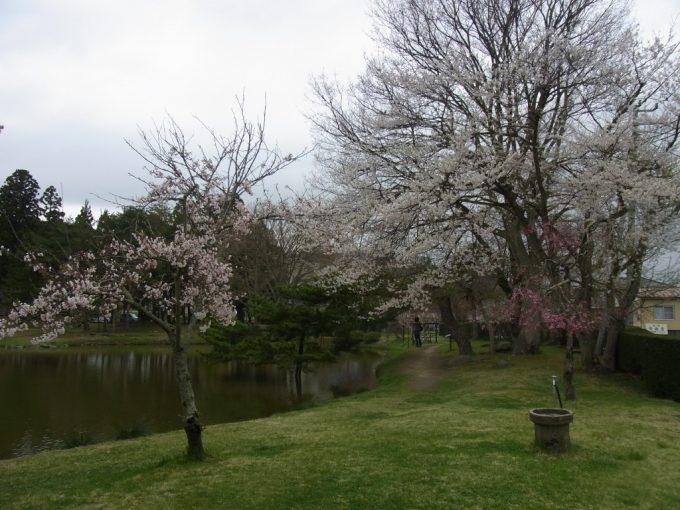 春の平泉観自在王院跡芝生と桜