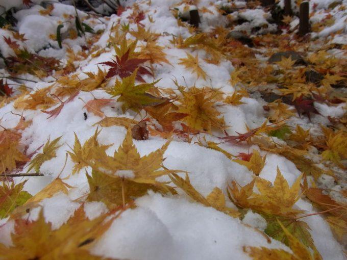 雪に散る紅葉
