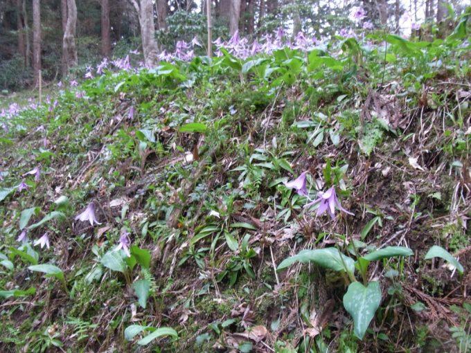 春の平泉中尊寺に咲くカタクリの花