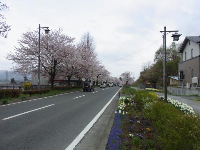 平泉国道4号線を彩る桜並木
