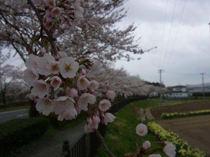 平泉桜と緑、花の競演