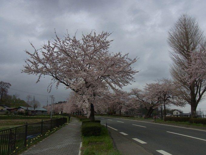平泉奥州街道の桜並木を振り返る