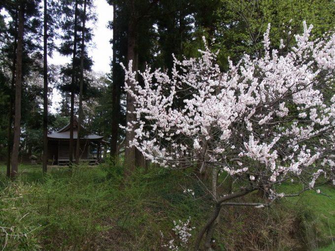 平泉鄙びたお堂と桜の花