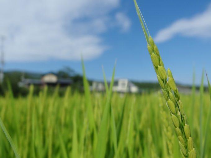 夏の日差しを浴び元気に育つ稲の穂