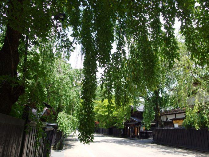 夏の角館茂る枝垂れ桜の葉