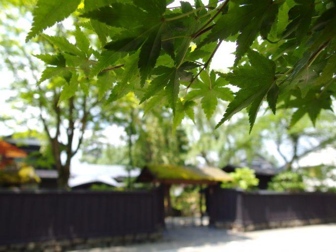 夏の角館青々とした紅葉の葉