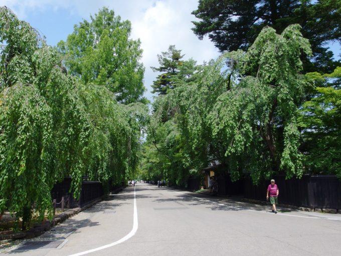 夏の角館枝垂れ桜並木